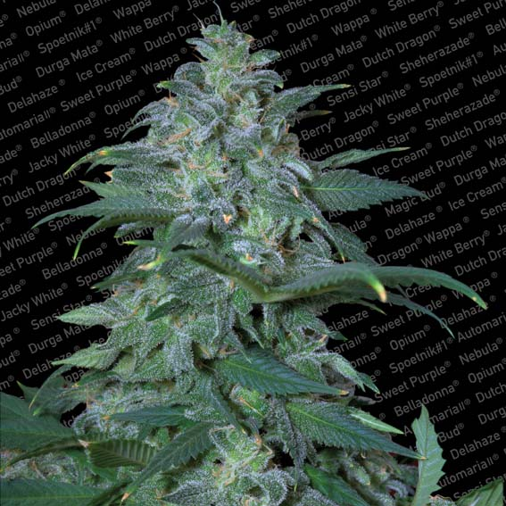Psf Magic Bud