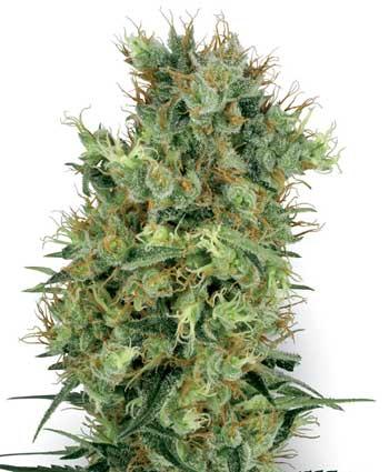 Whl Cali Orange Bud